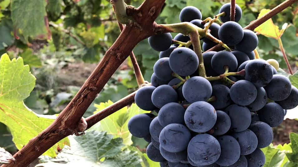 WeinRebsorten
